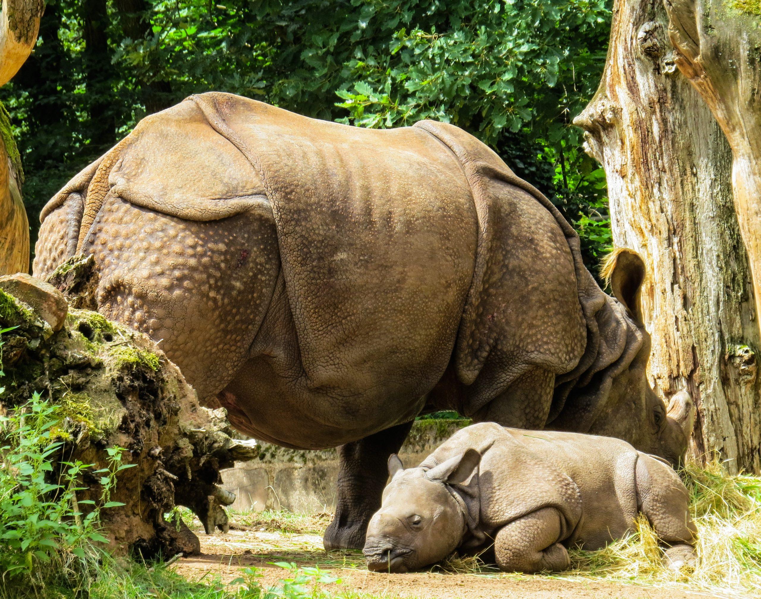 Nashorn scaled
